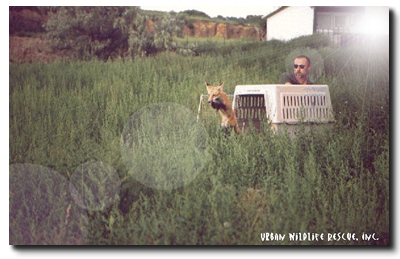 Urban Wildlife Rescue releasing a red fox.